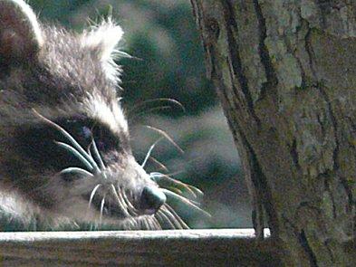 Raccoon Pearland Tx